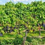 grapes-453107_1280